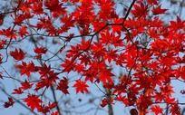 火红的枫树