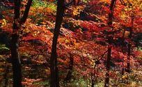 火红的枫树林