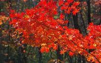 火红的枫叶林