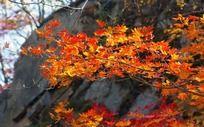 山谷中的枫叶