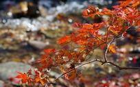 深秋溪边红叶