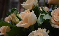 香槟金玫瑰