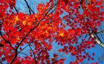 枝头火红的枫叶
