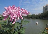 湖边盛开的红色菊花