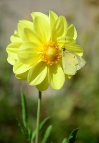 黄色大丽菊上的蝴蝶