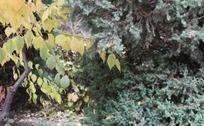 黄色树叶与绿色松树交映