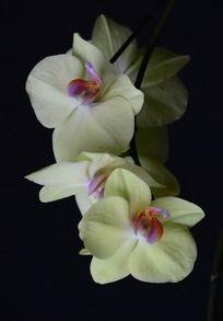 鲜艳的黄色蝴蝶兰