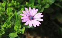 粉紫色的雏菊