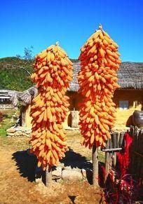 农舍院子里挂起来的玉米