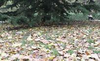 秋天松树下的落叶