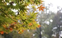 秋天午后阳光下五彩斑斓的树叶美景