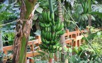 温室香蕉树