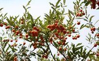 阳光下挂满树梢的丰收的果实