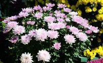 百花争艳的粉色菊花