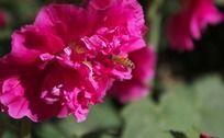 采蜜的蜜蜂