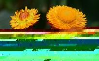 黄色的麦杆菊