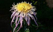 花团锦簇的礼花菊