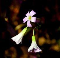 可爱小巧的紫色酢浆草花朵