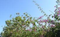 蓝天下的花林