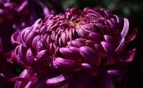 水灵的枚红色菊花