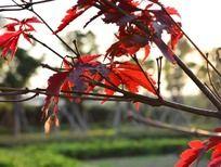 树枝上的枫叶