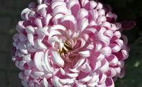 展露芳颜的菊花