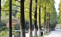整齐的池杉