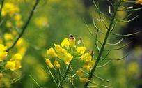 采蜜的两只小蜜蜂