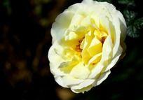 淡黄色美丽的月季花