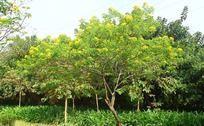 开满黄色花朵的小树