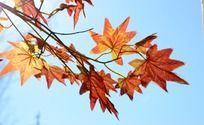 蓝天下红色的枫叶