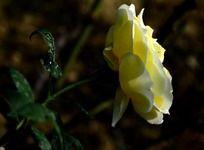 美丽的淡黄色月季花