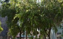 随风飘扬的柳树