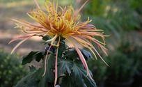 绚丽的礼花菊