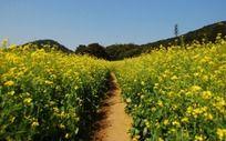 油菜花丛中的小道