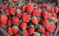 鲜艳的草莓