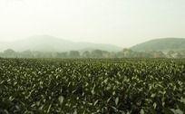 杭州龙井路边上的茶园