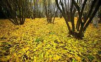 秋季红黄叶树林