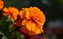 橙色艳丽的孔雀草