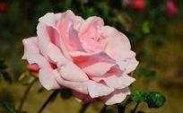 粉嫩的月季花