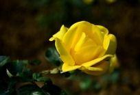 金灿灿美丽的月季花
