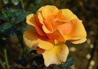 美丽的橙色月季花