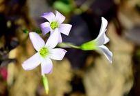 漂亮的紫叶酢浆草花朵