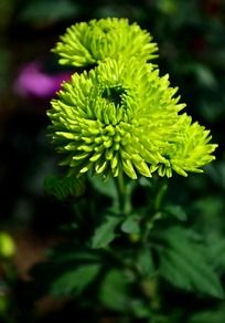 盛开的绿色菊花
