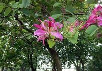 挂在枝头的紫荆花