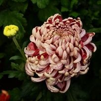 华丽端庄的雨露菊花