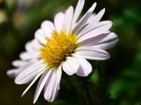 可爱洁白的菊花