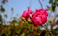并蒂的蔷薇花