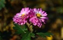 并排着的粉色小菊花