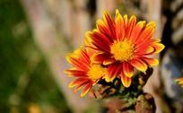 灿烂的小菊花